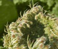 Detalle abstracto de la zanahoria salvaje Fotos de archivo libres de regalías
