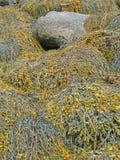 Detalle, alga marina y quelpo foto de archivo libre de regalías