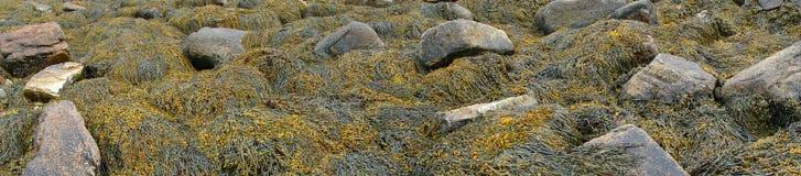 Detalle, alga marina y quelpo en rocas de la playa foto de archivo