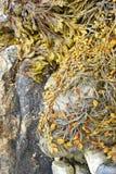 Detalle, alga marina y quelpo en rocas de la playa imágenes de archivo libres de regalías