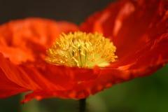 Detalle anaranjado de la amapola Fotografía de archivo