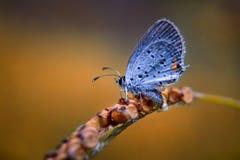Detalle azul atado del este de la mariposa Imagenes de archivo