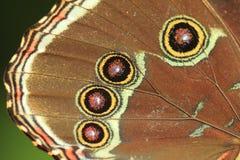 Detalle azul de la mariposa del morpho Fotografía de archivo libre de regalías
