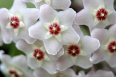 Detalle blanco de la flor de la cera Foto de archivo