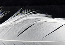 Detalle blanco de la pluma del cisne Fotografía de archivo