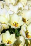 Detalle blanco de los tulipanes Imágenes de archivo libres de regalías