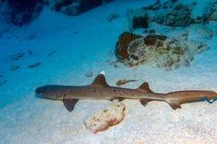 Detalle blanco del ojo del tiburón del filón de la extremidad listo para atacar el submarino Foto de archivo libre de regalías