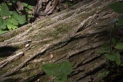 Detalle caido del árbol de pino fotografía de archivo