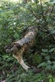Detalle caido del árbol de pino foto de archivo libre de regalías