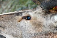Detalle cazado del ojo de los ciervos comunes Fotografía de archivo libre de regalías