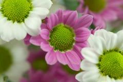 Detalle color de rosa de la margarita Fotos de archivo libres de regalías