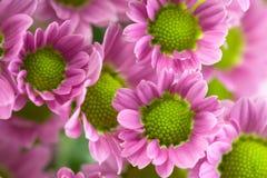 Detalle color de rosa de la margarita Fotografía de archivo