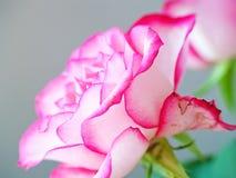 Detalle color de rosa romántico del rosa y blanco fotografía de archivo