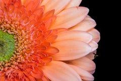 Detalle colorido aislado de la cabeza de flor de la margarita del gerbera en fondo negro Fotos de archivo libres de regalías