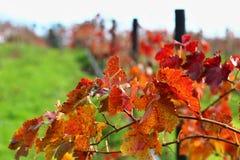 Detalle colorido del orchad del vino en Adelaide Hills Imagenes de archivo