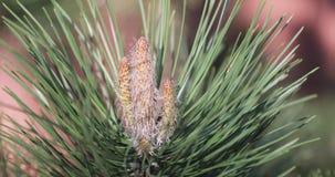 Detalle conífero de la alergia del polen de la floración del flor del pino almacen de metraje de vídeo