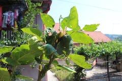 Detalle con la planta de mi jardín orgánico con el tomate andino fotos de archivo