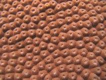 Detalle - coral duro Imagen de archivo