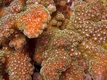 Detalle - coral duro Foto de archivo libre de regalías