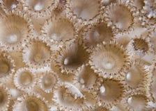 (Detalle coralino de goma del tuberculosa de Palythoa). Imágenes de archivo libres de regalías