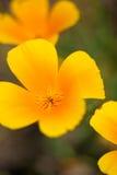 Detalle de amapolas californianas Fotos de archivo libres de regalías