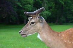 Detalle de ciervos en barbecho hermosos Fotografía de archivo