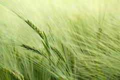 Detalle de granos verdes orgánicos Imagen de archivo