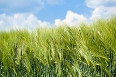 Detalle de granos verdes orgánicos Imagenes de archivo