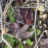 Detalle de hojas con escarcha imagen de archivo