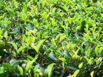 Detalle de hojas de té Fotografía de archivo