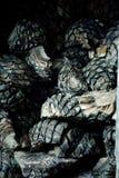 Detalle de jefes del agavo azul planta para la producción de tequi Foto de archivo libre de regalías