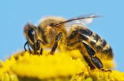Detalle de la abeja Fotos de archivo