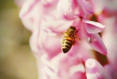 Detalle de la abeja de la miel que se sienta en jacinto rosado Fotos de archivo