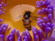 Detalle de la abeja drowining en la flor de Lotus Fotografía de archivo