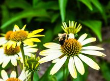 Detalle de la abeja en la flor amarilla Foto de archivo
