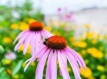 Detalle de la abeja en la flor roja y púrpura Fotos de archivo libres de regalías
