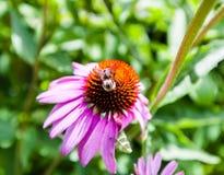 Detalle de la abeja en la flor roja y púrpura cerca del tallo Imagenes de archivo