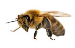 Detalle de la abeja o de la abeja, Apis Mellifera Fotografía de archivo libre de regalías
