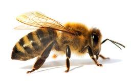 Detalle de la abeja o de la abeja en los Apis latinos Mellifera Fotos de archivo libres de regalías