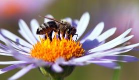 Detalle de la abeja que se sienta en la flor violeta Imagenes de archivo