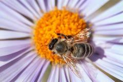 Detalle de la abeja que se sienta en la flor violeta Fotografía de archivo