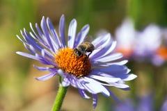 Detalle de la abeja que se sienta en la flor violeta Fotografía de archivo libre de regalías