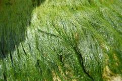 Detalle de la alga marina fina en roca Imagen de archivo libre de regalías