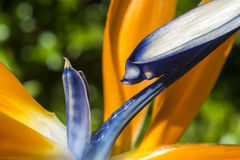 Detalle de la ave del paraíso Foto de archivo libre de regalías