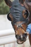 Detalle de la cabeza de caballo de raza con los intermitente Área del prado Fotografía de archivo libre de regalías