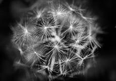 Detalle de la cabeza de la semilla del diente de león en blanco y negro Fotos de archivo libres de regalías