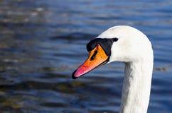 Detalle de la cabeza del cisne en el río con un fondo azul marino Imagen de archivo