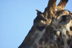 Detalle de la cabeza del ` s de la jirafa con el oxpecker rojo-cargado en cuenta en fondo azul imagen de archivo libre de regalías