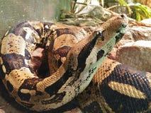 Detalle de la cabeza de una serpiente marrón con las manchas marrones oscuras fotos de archivo