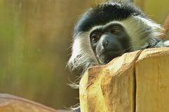Detalle de la cara del mono Imagenes de archivo